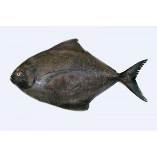 Black Pomfret / Karutha Avoli (Large)
