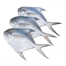 Silver Pomfret / Avoli