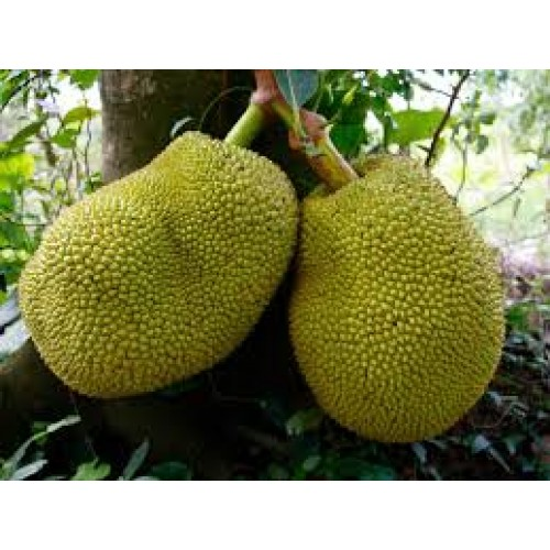 JACK FRUIT GREEN( FROZEN)